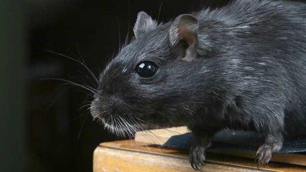Soñar con una rata o ratas