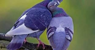 Soñar con palomas