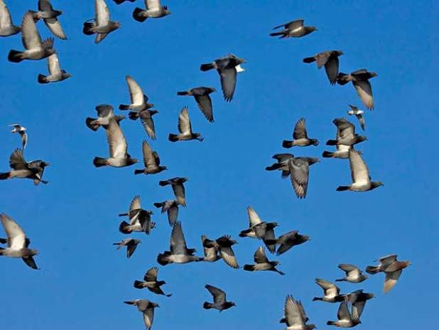 Soñar con palomas volando