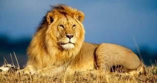 Significado de soñar con un león
