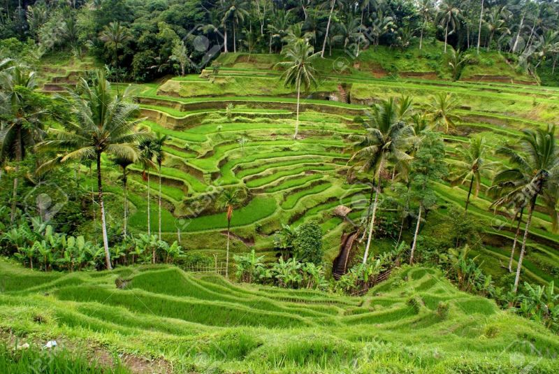 9115943-Rice-terrace-Bali-Indonesia-Stock-Photo