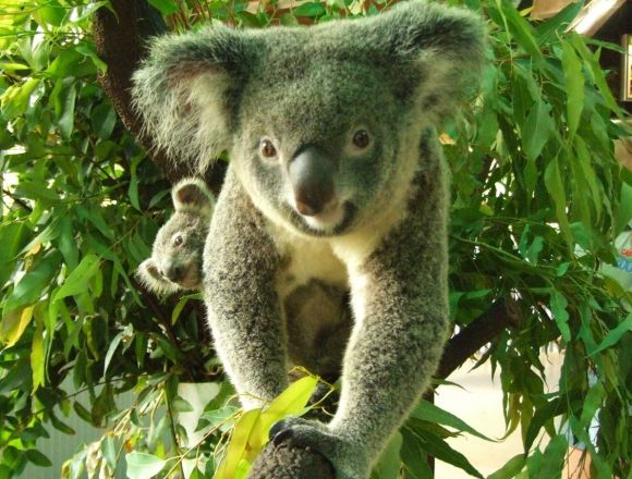 オーストラリア,旅行,格安,コアラ