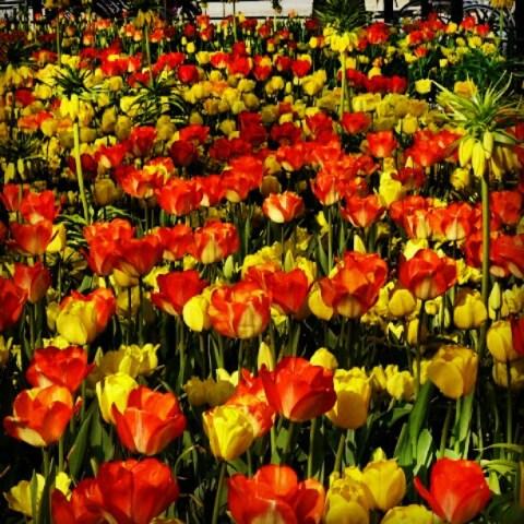 Gustav Adolfs Torg tulips