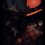 Bella, as seen on FaceTime between rounds of headbutting the phone.