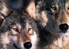 Τα βράχια και ο λύκος!!!