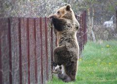 Αρκούδα πιάστηκε επ΄αυτοφώρω να σκαρφαλώνει φράχτη μαζί με το μωρό της και να «κλέβει» κεράσια!