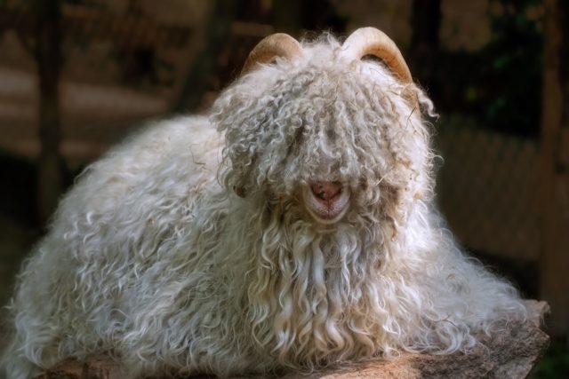 Chèvre Mongolie Choisir un pull en cachemire pour la saison