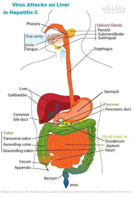 Human-Organs