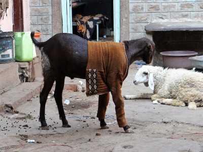 Chèvre habillée d'un gilet