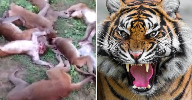 12 Monkeys Die From Heart Attacks After They Were Scared By A Tiger. (Photo)