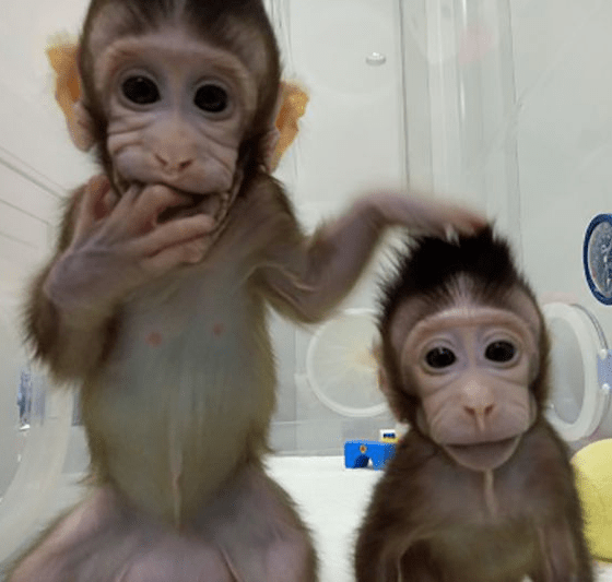 [Image: Chinese-Scientists-Clone-Monkeys.png?resize=560%2C533]
