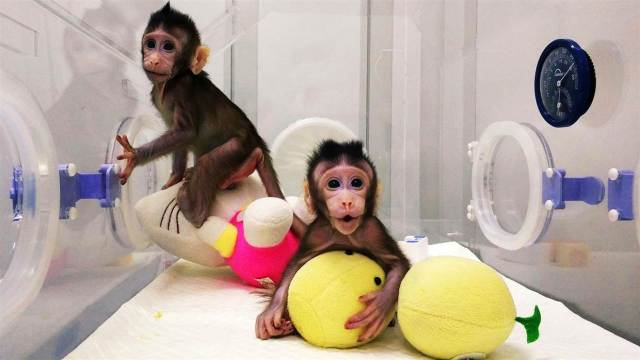 [Image: Chinese-Scientists-Clone-Monkeys2.jpg?resize=640%2C360]