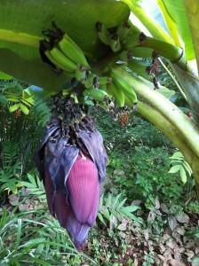 Raw banana puttu recipe