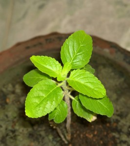 One Tulsi Leaf A Day for Better Health