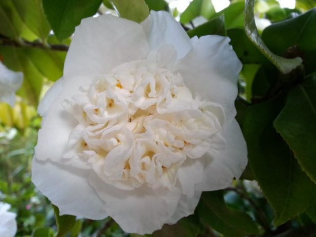 white camellia, White Flowers