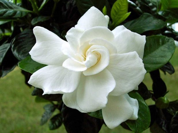gardenia flower, White Flowers