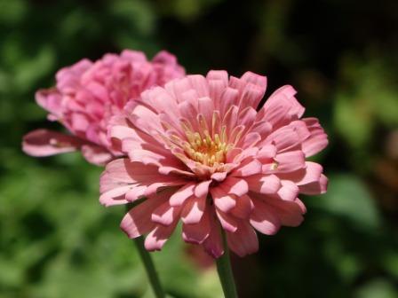 Zinnia flower images