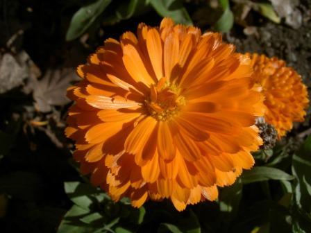 Zinnia Flower, Zinnia Flowers