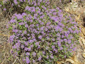 Pretty, purple wild thyme (I think!)