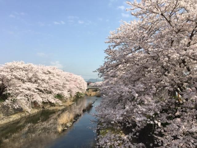 やどまる美祢/厚狭川沿いに咲く満開の桜