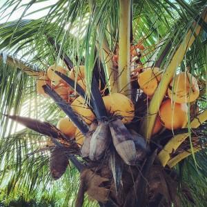 Coconut palm tree in Bolivia