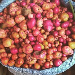 Red Dwarf Potatoes in market of Santa Cruz