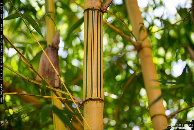 Bamboo Paraguay