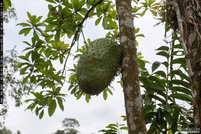 Costa Rica Guanabana o corazon de india o Jack Fruit