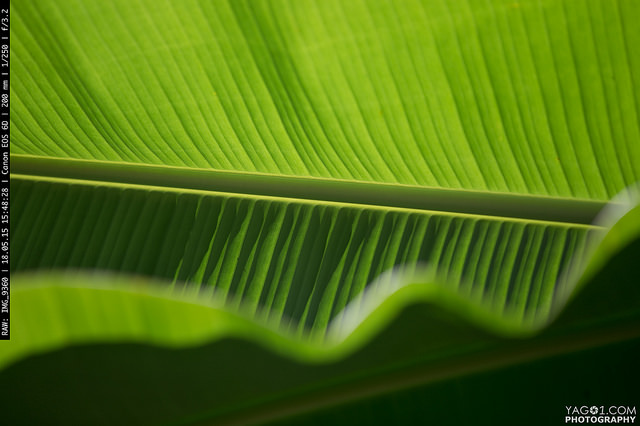 Green Banana Leaf Bolivia