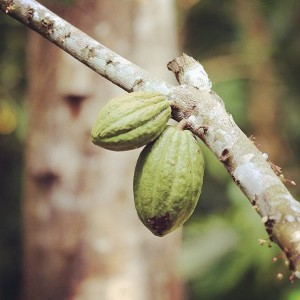 RAW cacao fruit in Costarica