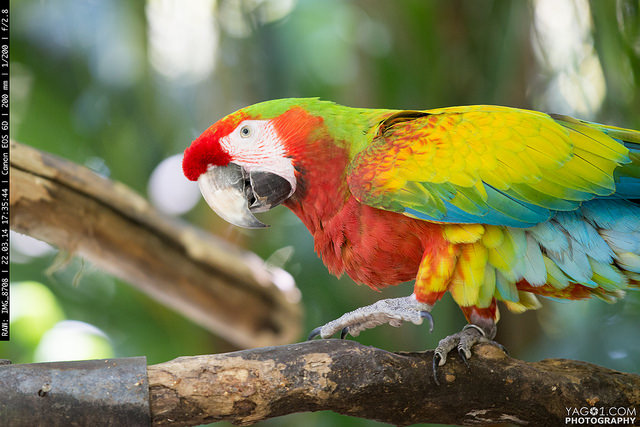 Red, Blue and yellow macaw