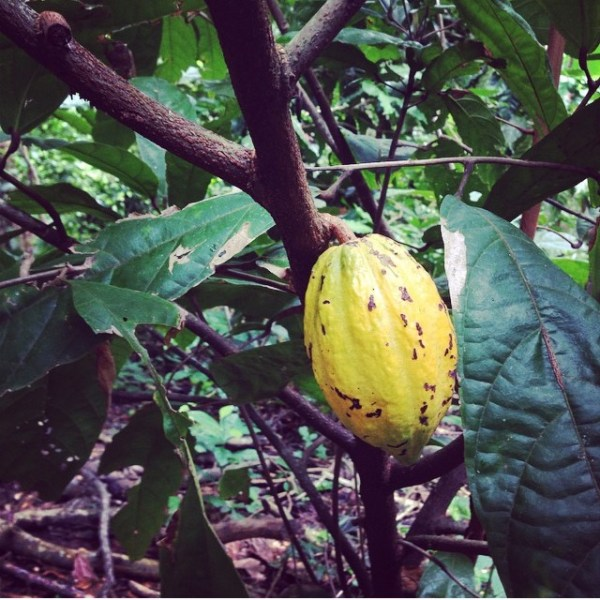Yellow Cacao fruit