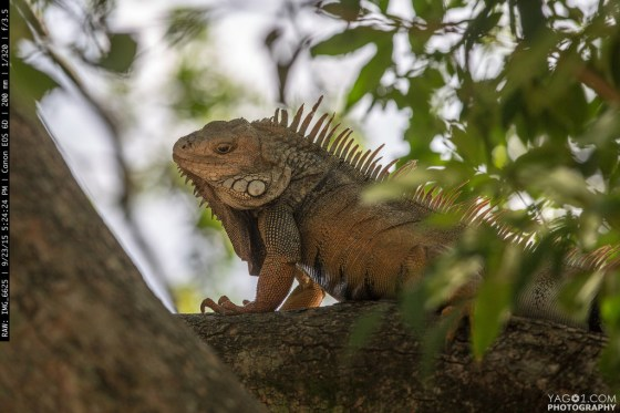 Iguana in Medellin Colombia