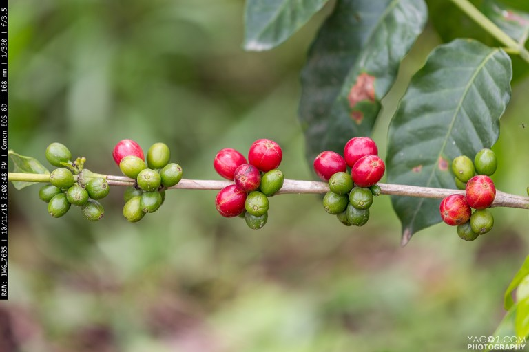 Red and Green Coffee Beans in Quinido Colombia