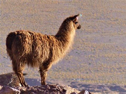 Bolivie Sud Lipez lama
