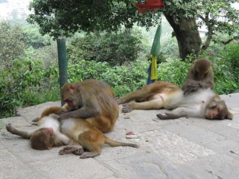 Népal Kathmandu Monkey Temple