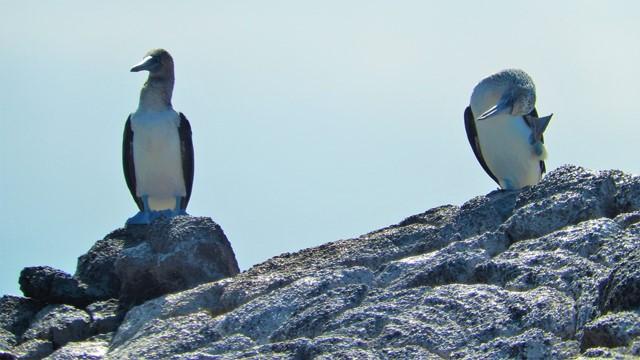 Galapagos ile Floreana oiseau