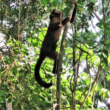 Argentine Chutes d'Iguazu singe