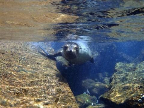 Galapagos ile Floreana snorkeling lion de mer