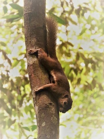 Singapour résevoir MacRitchie écureuil