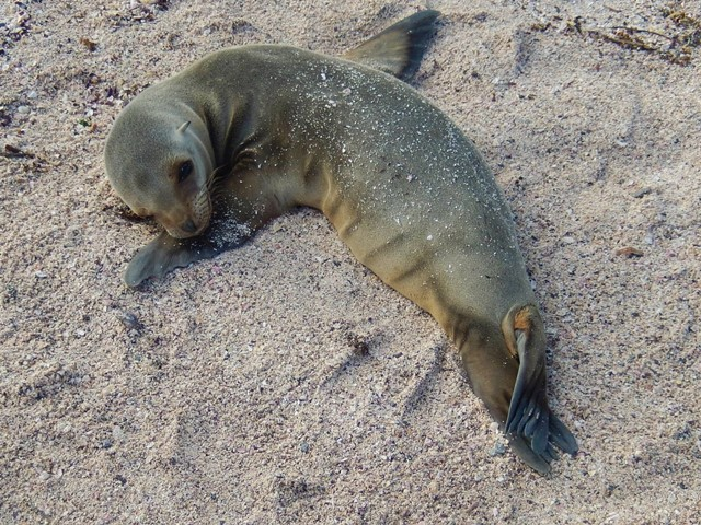 Galapagos ile Espanola lion de mer