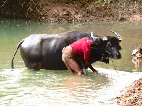 Myanmar Trek Kalaw - Lac Inle buffle