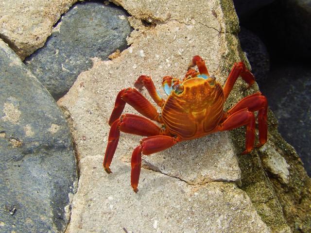 Galapagos ile Espanola crabe