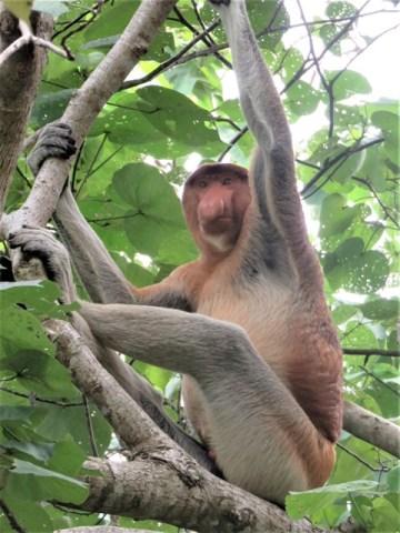 Bornéo Parc National de Bako singe nasique