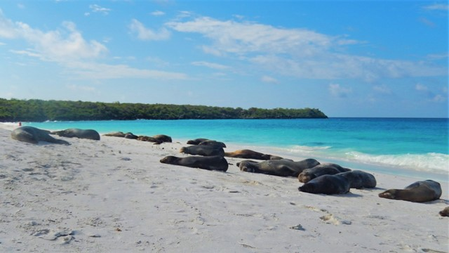 Galapagos ile Espanola baie de Gardner lions de mer