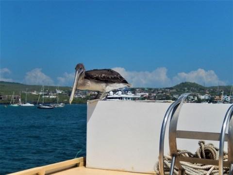 Galapagos ile San Cristobal pélican