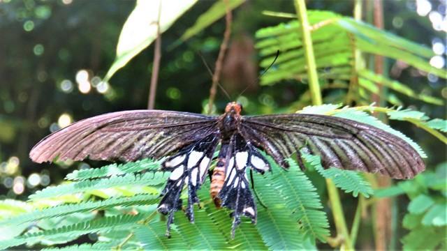 Malaisie Taman Negara papillon