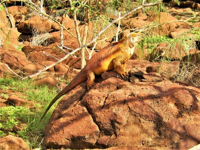 Galapagos ile Seymour iguane