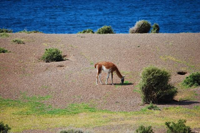 Argentine Péninsule Valdès manchots guanaco Punta Tombo