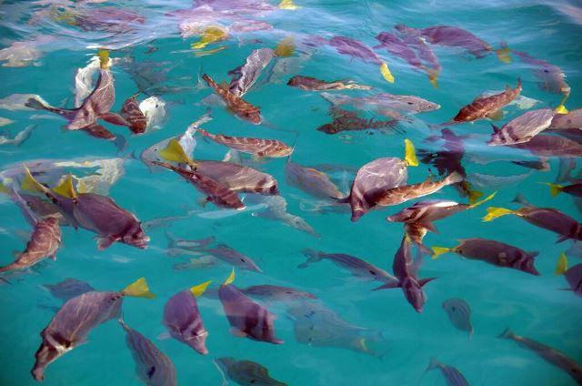 Galapagos ile Santa Cruz Eden Island poissons